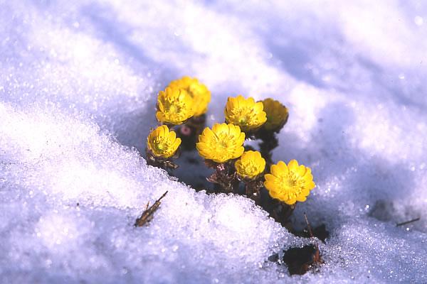 春の陽差しを浴びて輝く福寿草。 四賀村の特産品の販売コーナーも。 福寿草保護のための募金に協力し